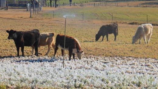 Cold Queensland cows